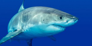 Cet animal terrorise les grands requins blancs