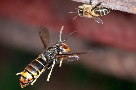 pour prot ger les abeilles des frelons asiatiques testez la museli re. Black Bedroom Furniture Sets. Home Design Ideas