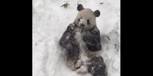 VIDEO. Le panda géant du zoo de Washington savoure la neige
