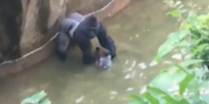 VIDEO. Etats-Unis : un enfant tombe dans l'enclos d'un gorille, le zoo tue l'animal