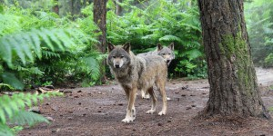 La population de loups continue à progresser en France, mais plus lentement
