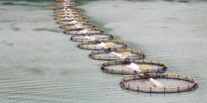 La production de l'aquaculture va dépasser celle du bœuf