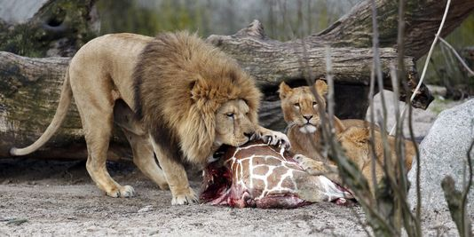 Pourquoi les zoos peuvent tuer leurs animaux for Parc animaux yvelines