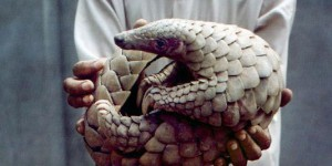 Au Gabon, on mange encore le pangolin