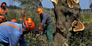 « Xylella fastidiosa », accident industriel ?
