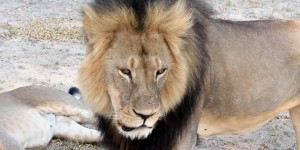 Scandale international après la mort du lion Cecil