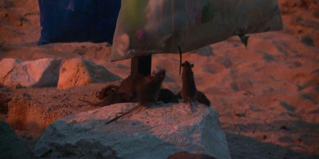 apr s les inondations des rats par dizaines sur les plages. Black Bedroom Furniture Sets. Home Design Ideas
