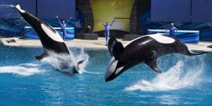 En Californie, on ne verra plus de spectacles d'orques à SeaWorld