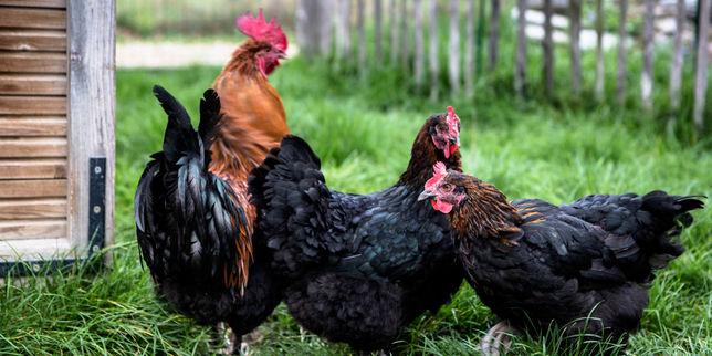 Et si on adoptait des poules pour recycler nos d chets - Poules en ville reglementation ...
