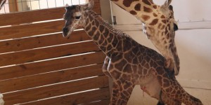 April la girafe a accouché devant 1,2 million d'internautes