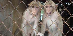 Air France et l'enfer des singes de laboratoire